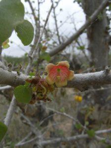 Sterculia-rynchocarpa-flower